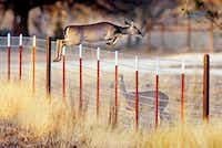 A deer jumps over a fence, and another deer, in northwestern Denton County last January.Al Key - DRC file photo