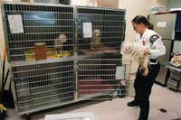 Christine Hastings, animal services manager for Flower Mound, places a Maltese in a kennel at the shelter Friday after a trip to the veterinarian.David Minton