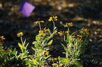 Black-eyed Susans grow in the new University of North Texas dye garden, which includes many plants native or well-adapted to Texas.David Minton - DRC