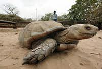 The African spurred tortoise is also known as the sulcata tortoise. It can grow to 200 pounds and live up to 50 years in captivity.EPA/AP file photo