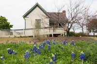 """<p><span style=""""font-size: 1em; background-color: transparent;"""">Wildflower season has arrived in North Texas as bluebonnets, such as these seen Wednesday next to the Bayless-Selby House in the Denton County Historical Park in Denton, have begun to bloom.</span></p>Jeff Woo/DRC"""