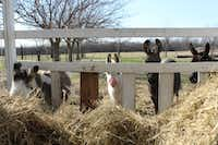 Four of Nancie Brunk's miniature Mediterranean donkeys are served hay for lunch.For the DRC/Madison Wilson