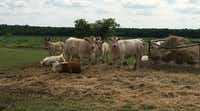A small herd of white purebred Charolais cattle are a part of an overall herd of about 200 head the Mitchell family maintain. A donkey helps protect young calves from coyotes.For the DRC/Lauren Rosenthal
