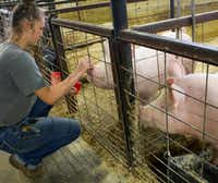 Maurie Varin pets her pigs, Petunia and Piglet, through the stall gates in the FFA barn. The pigs were retired after the Denton County Livestock show in early April.For the DRC/Elizabeth Watson