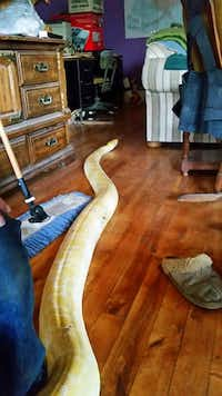 This Monday, May 8, 2017 photo released by the Matanuska-Susitna Borough Animal Shelter shows a 17-foot python north of Anchorage, Alaska. The python had caused concern in a community since it went missing two weeks ago has returned home Monday. (Darla Erskine/Matanuska-Susitna Borough Animal Shelter via AP)Darla Erskine/AP