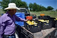 Arthur Lara, an employee at D-bar Farms in Ponder, examines the yellow squash he picked Wednesday.DRC