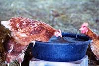 Two hens at D-bar Farms in Ponder drink water from a bowl inside their enclosure. Keith Copp estimates than he and his wife house at least 400 hens to produce eggs that are available for purchase.DRC