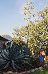 The Hancock family, from front to back, Ruby, Collier and Seth, stand next to their gigantic flowering American agave plant June 8 at their Denton home.Courtesy photo