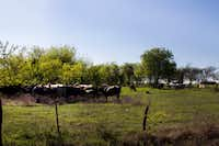 "<p><span style=""font-size: 1em; background-color: transparent;"">Cows roam and graze in Krum, Texas. Several residents in the rural area between Krum and Denton own and raise cattle. When l</span><span style=""font-size: 1em; background-color: transparent;"">ocals met on Thursday, June 15, to address questions and concerns within the agricultural community around Denton County, fence law was one of the night's topics of discussion. According to U.S. Census Burea data, Texas is leading the nation in lost working agricultural lands, taking a 1.1 million acre loss from 1997 to 2012. Kyle Martin / DRC</span><br></p>DRC"