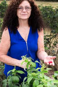 Sue Newhouse picks raspberries Monday at Aunt Sue's Barn in Ponder.DRC