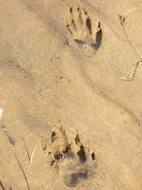 """Kid-friendly programs """"Junior Rangers: Wildlife Detectives"""" and """"Critter Tracks"""" will be offered Saturday at the Isle du Bois Unit of Ray Roberts Lake State Park.Getty Images/iStockphoto"""