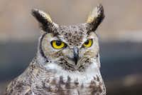 "Go ""Owl Prowlin'"" on Friday at Ray Roberts Lake State Park's Isle du Bois Unit.iStock"