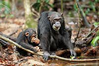 Isha and her son Oscar snack on fruit in Chimpanzee.Disneynature