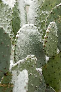 Snowflakes cover blades of a cactus in the yard of a home on Highland Park Rd in the Denia area after snowfall on Christmas day, Tuesday, December 25, 2012, in Denton, TX. David Minton/DRCDavid Minton - Denton Record Chronicle DRC