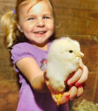 4-year-old Emma Kleinkauf holds one of the baby chicks in the barn where they are mothered by the duck, Sidney, at their home on Lariat Road Wednesday April 30, 2014, in Denton, Tx. Photo by Al Key/DRCAl Key