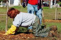 Master gardener Mary Morrow got down and dirty planting trees at South Lakes Park Wednesday with the City of Denton citizens forester class.Al Key