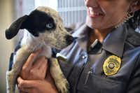 "Chelsea Stachyra, animal services director for Lake Dallas, holds one of six pointer mix puppies that were dumped over the fence of a grooming business this week, during ""Empty the Shelter"" day at the Lake Dallas Animal Shelter on Saturday.David Minton - DRC"