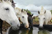 Andalusian horses drink from a water trough at Chapel Creek Ranch west of Sanger.Al Key - DRC
