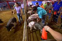A sprayer is used to rinse off some dirt and help cool a pig during the senior pig showmanship event at the North Texas Fair and Rodeo on Friday in Denton.David Minton - DRC