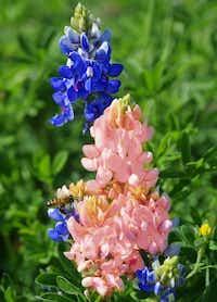 A bee enjoys a pink bluebonnet alongside a blue bluebonnet Friday on University Drive in Denotn.Al Key