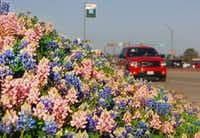 A stand of pink and standard bluebonnets blooms on University Drive in Denton.Al Key - DRC