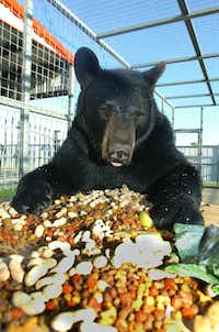 Barnaby the 3-year-old 400-pound black bear eats his dinner on the table in his cage next to the restaurant at Sharkarosa Wildlife Ranch Tuesday June 11, 2013, in Pilot Point.Al Key - DRC