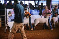 Contestants hold their animals as the judge circles the ring during the Breeding Lamb show at the Denton County Livestock Association Youth Fair & Rodeo, Wednesday, March 26, 2014, at North Texas Fairgrounds in Denton.David Minton