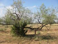 Mesquite trees, which proliferate Texas ranches particularly during droughts, are difficult to eradicate.Gregory R.C. Hasman