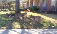 A standoff between two bobcats happened in a neighborhood in Carrollton last year and was caught on video by Kevin Martuscello. Residents in at least one Denton neighborhood have reported seeing bobcats in the woods near their homes, along fences and, in one case, on a neighbor's driveway, in the past month.Kevin Martuscello - CourtesyPhoto