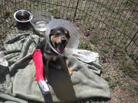 Trooper as a puppy showing his broken leg.<252>Courtesy photos