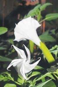 Two Sacred Datura flowers, the upper growing closer to a trumpet shape, with the lower still unfurling toward its final design.Al Key - DRC