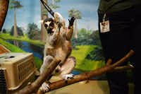 Uno the lemur grabs a plastic ring as part of his training at McKinney's Heard Natural Science Museum & Wildlife Sanctuary.Rose Baca - For the DRC