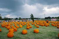 The Flower Mound Pumpkin Patch on FM1171 is shown on Friday<137>, October 11, 2013,<137> in Flower Mound<137>, TX<137>. <137>David Minton/DRC<137>Photos by David Minton