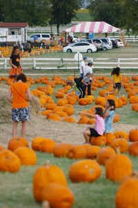 The Flower Mound Pumpkin Patch on FM 1171 on Friday in Flower Mound.David Minton