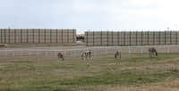 Donkeys graze in a field in front of a barrier concealing a drilling site in Flower Mound.